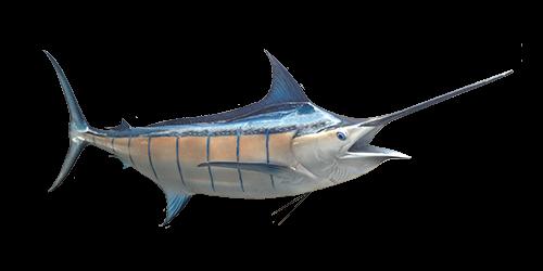 blue-marlin-500x250