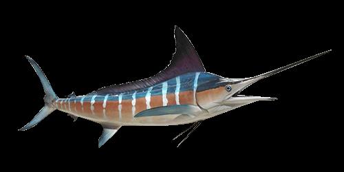 striped-marlin-500x250