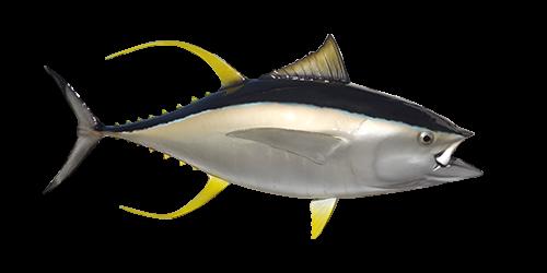 yellowfish-tuna-500x250