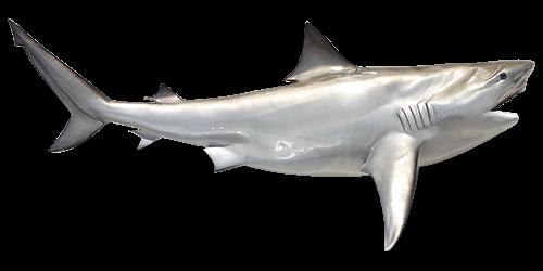 bull-shark-500x250