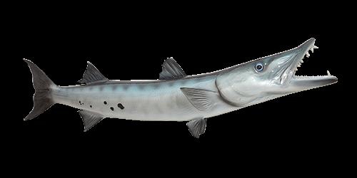 great-barracuda-500x250