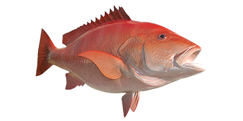red-snapper-500x250